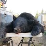 Monster Bear 2013