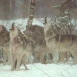 wolfpack_large